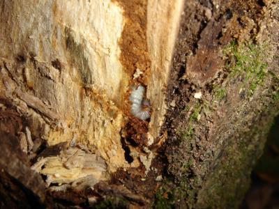 2012.11.3 コクワ幼虫1