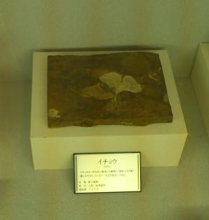 銀杏の化石