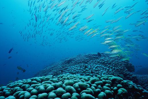 大仏サンゴ コモンシコロサンゴ