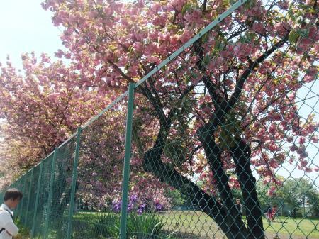 大学内の八重桜