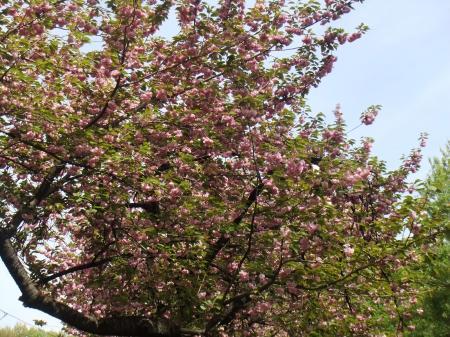若葉町の八重桜