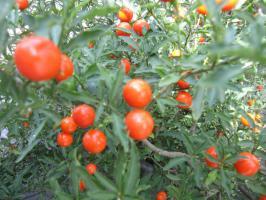 中央公園近くの赤い実。プチトマトじゃないよ。