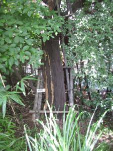 カラスザンショウの木