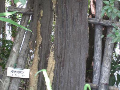 カラスザンショウの木に近づく