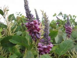 小鮎川、堺橋下流の、葛(クズ)の花