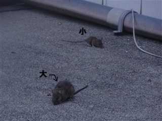 ネズミ大小