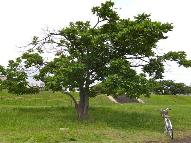 鬼胡桃の木