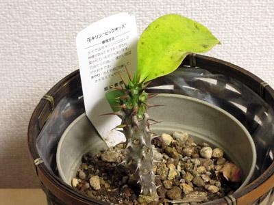 花キリン02