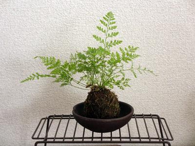 苔玉シノブ06