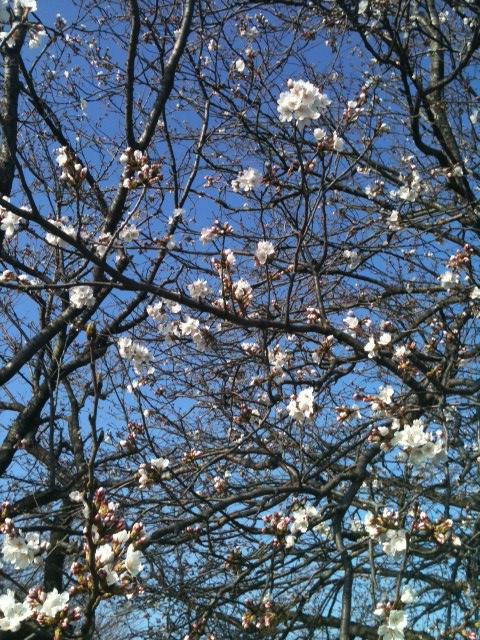 桜3月21日