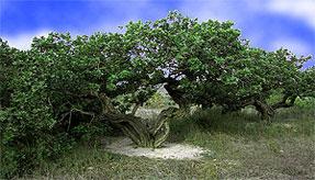 マスティックの樹