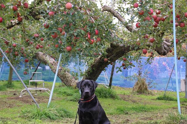 りんごがいっぱい