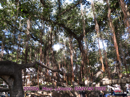 2012年6月 Maui-Lahaina-BANYAN TREE ART