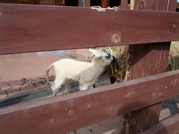 生まれたて羊