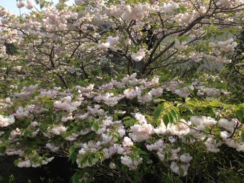 八重桜木_convert_20120426003700