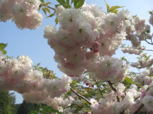 八重桜花_convert_20120426003734