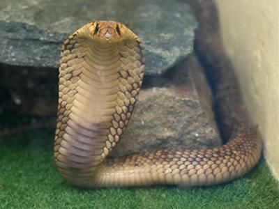 エジプトコブラ