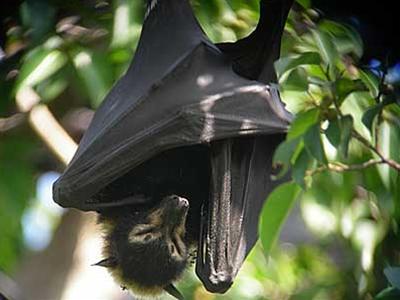 オオコウモリ