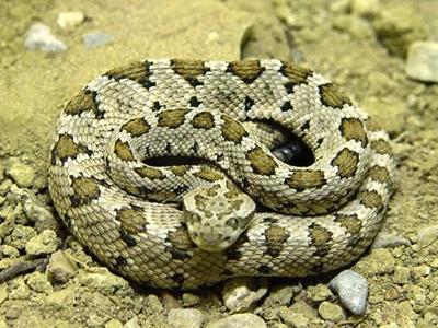ガラガラヘビ