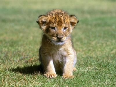 ライオン(赤ちゃん)