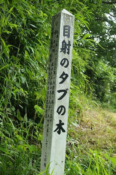 240811 目射タブノキ2