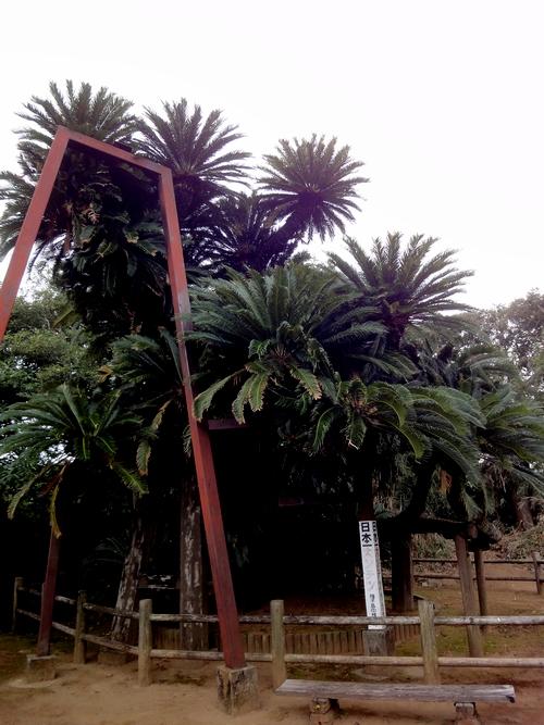 種子島のソテツ2