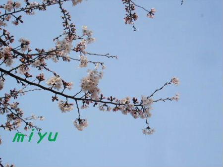 公園の桜2