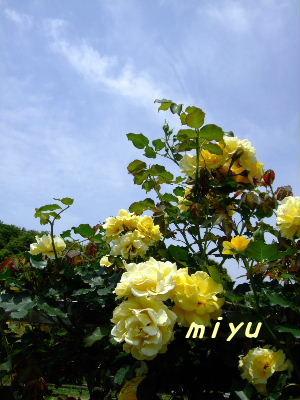 黄色のパラ