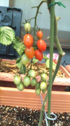 6月トマト①