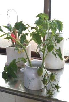 家の中のトマト