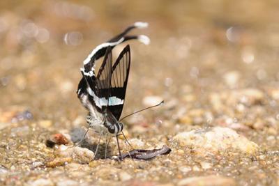 Lamproptera meges (3) for BLOG