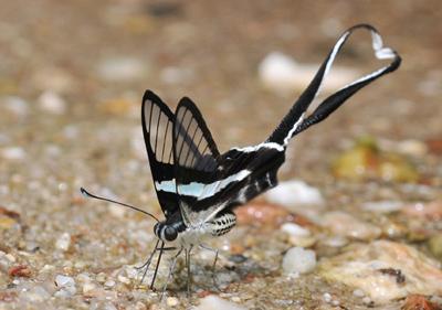Lamproptera meges (5) for BLOG