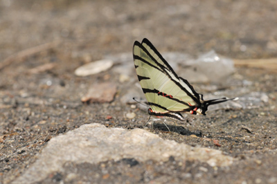 Graphium agetes (14) for mail