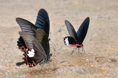 Papilio.jpg