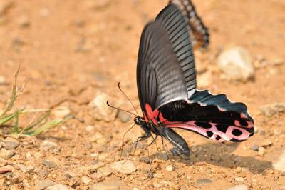 Papilioalc.jpg