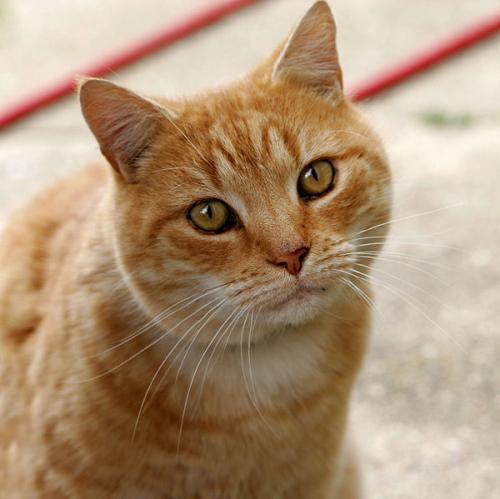 600px-Cat03_convert_20130527214840.jpg