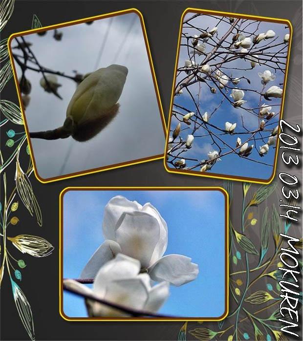 木蓮が咲いたよ1のコピー