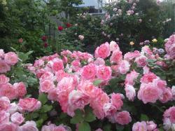 薔薇3 2012.5