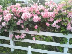 薔薇1 2012.5