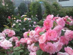 薔薇2 2012.5