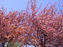 ひかり輝く自然界からのおくりもの-八重桜
