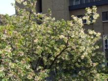 ひかり輝く自然界からのおくりもの-うこん桜
