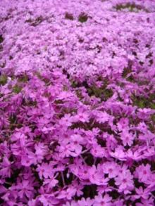 ひかり輝く自然界からのおくりもの-芝桜2