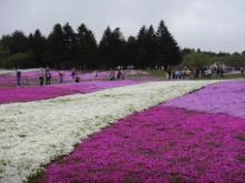 ひかり輝く自然界からのおくりもの-芝桜まつり