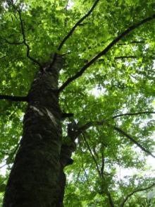 ひかり輝く自然界からのおくりもの-ブナ大木