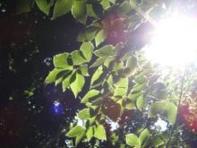 ひかり輝く自然界からのおくりもの-ミニ白神若いぶな