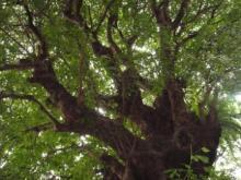 ひかり輝く自然界からのおくりもの-大アカギ