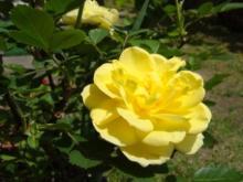ひかり輝く自然界からのおくりもの-バラ