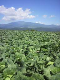 キャベツ畑と浅間山