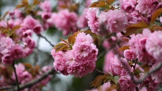 2012八重桜1